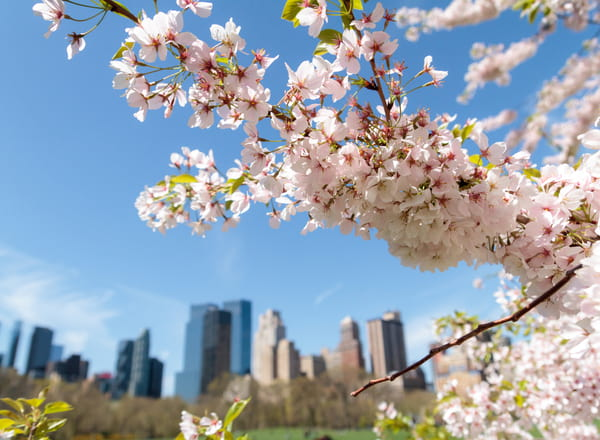 cherry blossom blooms with a city in the background