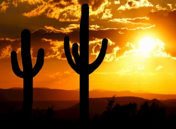 Cacti backlit but the sun in the evening