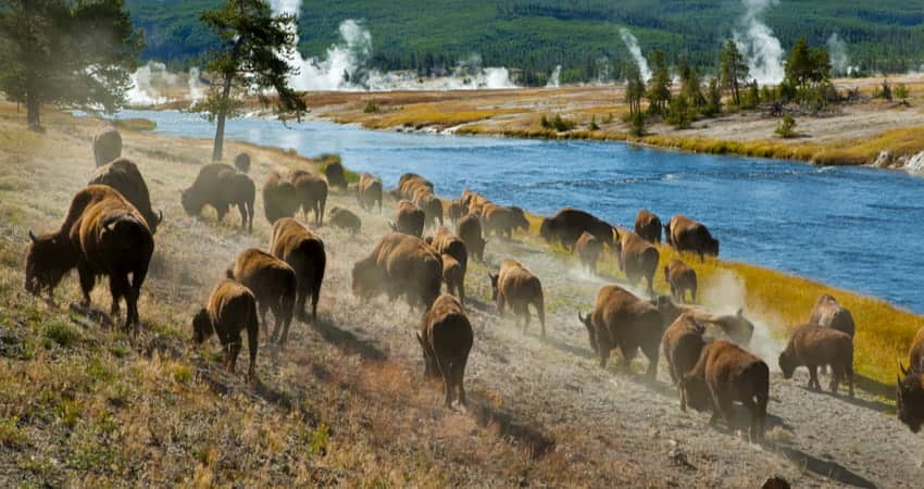 a herd of bison walk along a river at Yellowstone National Park