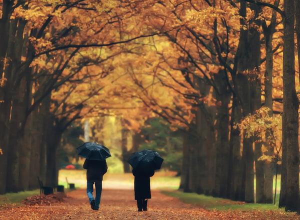 two people holding umbrellas walk through orange and yellow fall trees