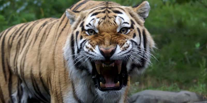 a tiger growl in the bronx zoo in new york city