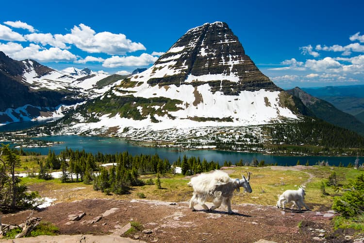 Goats in Glacier National Park near lake and mountain