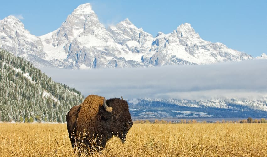 A lone bison stands in a yellow meadow clearing with the peaks of the Grand Tetons visible in the background