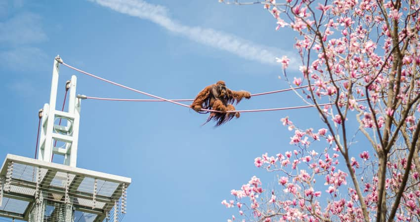 A great ape climbing a course at the National Zoo
