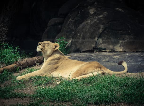 A lioness basking in the sun at the Houston Zoo