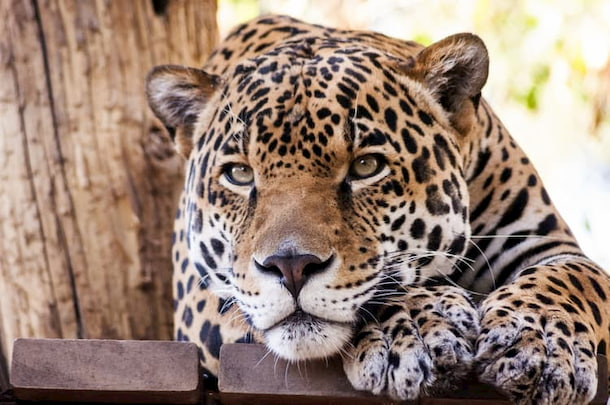 A jaguar lounges at the Phoenix Zoo
