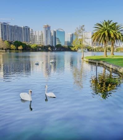 A couple of swans floating on Lake Eola