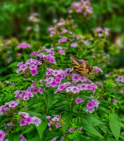 A butterfly visits a bed of pink flowers