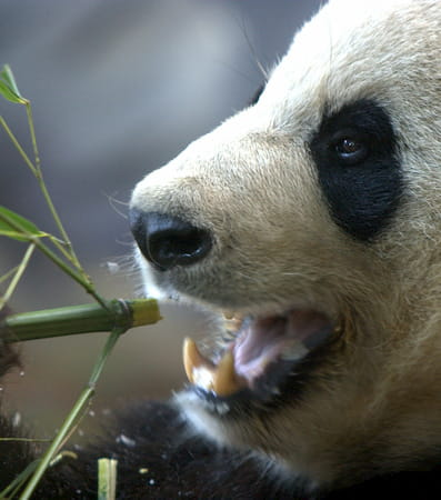 A panda chews on a stick of bamboo