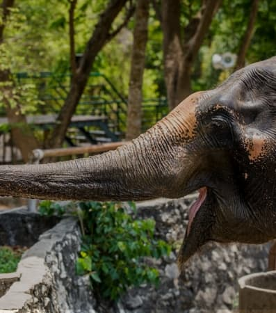 A grey elephant with its trunk outstretched