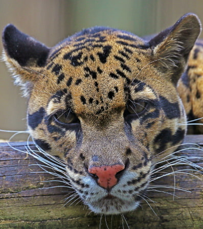 A clouded leopard resting at ZooTampa.