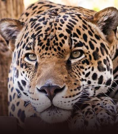 A jaguar lounges at the Phoenix Zoo