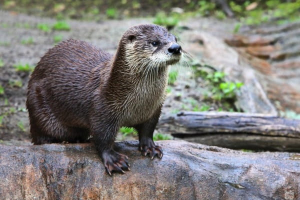 An otter peers earnestly into the distance