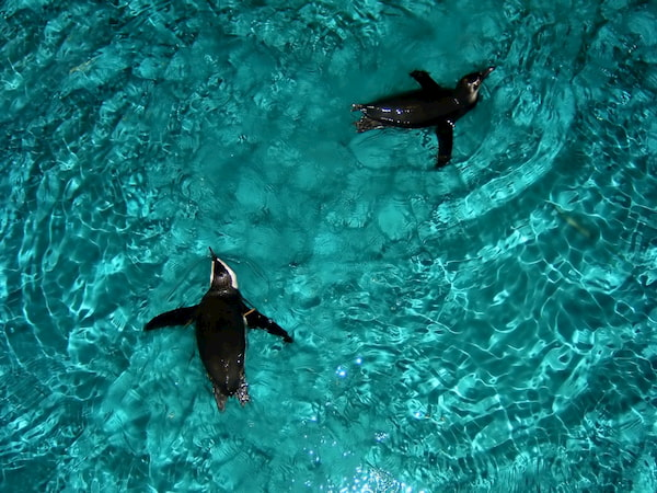 Penguins floating around in the water