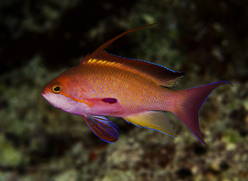 Small purple-red fish