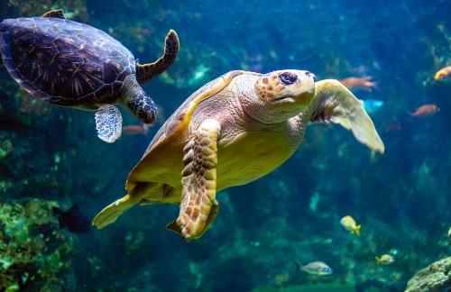 yellow-sea-turtle