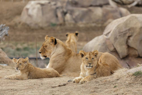 Lions lying together at Denver Zoo