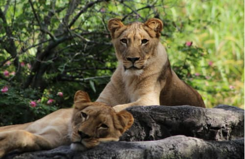 Lioness and her cub relaxing in the shade at Busch Gardens Tampa