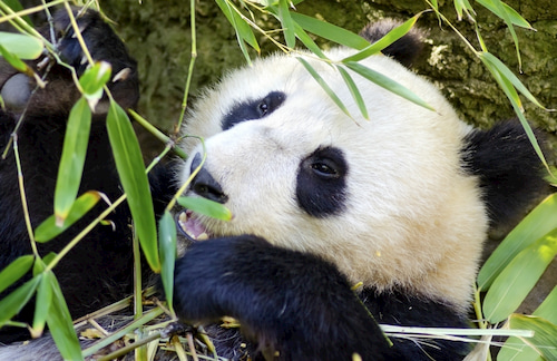 giant panda eats bamboo at the San Diego Zoo