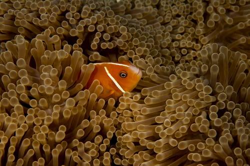 an orange fish in an anemone