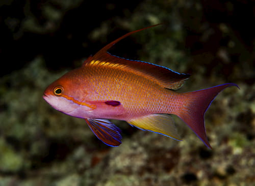 an orange and purple fish