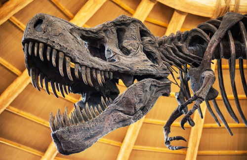 a tyrannosaurus rex skeleton in the San Diego Natural History Museum