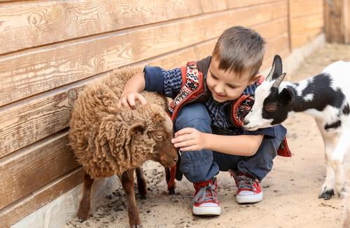 a little boy pets a goat and sheep at Zoo Atlanta