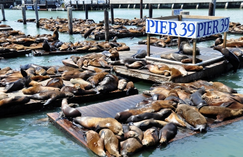 Seals sunbathing on the docks at Pier 39 in San Francisco