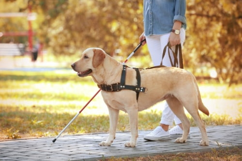 a seeing eye dog guides their owner down a path