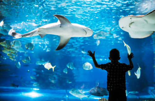 A child stands in awe as sharks swim in the Florida Aquarium tank