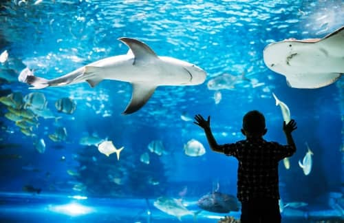 a child looking into a shark tank at Shedd Aquarium