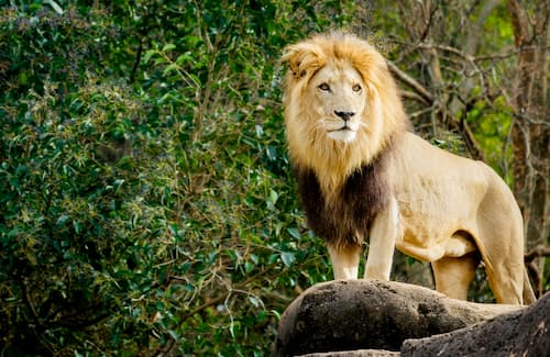 a lion stands on his rock