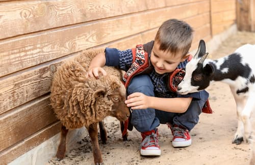 a boy gently pets goats at a petting zoo